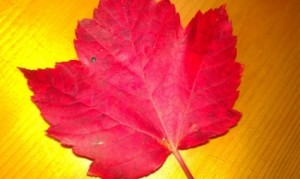 The bright red leaf was picked up just 60 days ago on the same trail we walked on today.